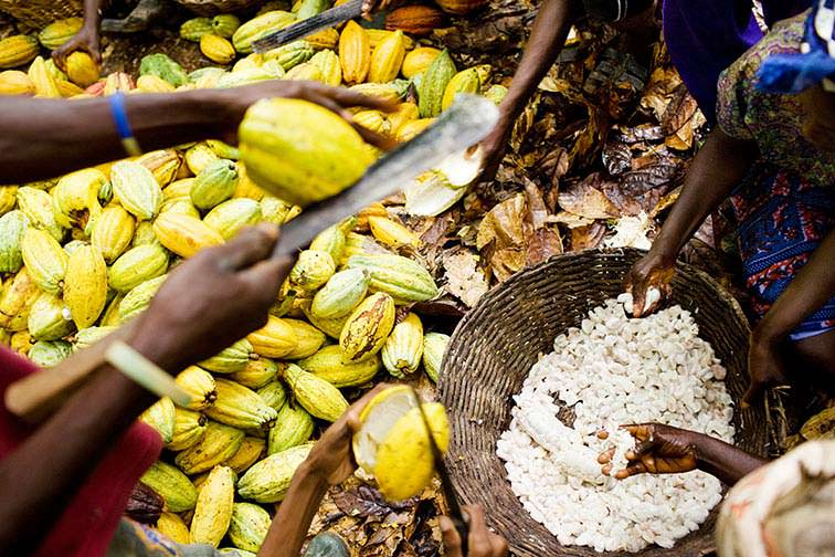 Top Cocoa Beans Producers in Africa 2016 |Coco Africa