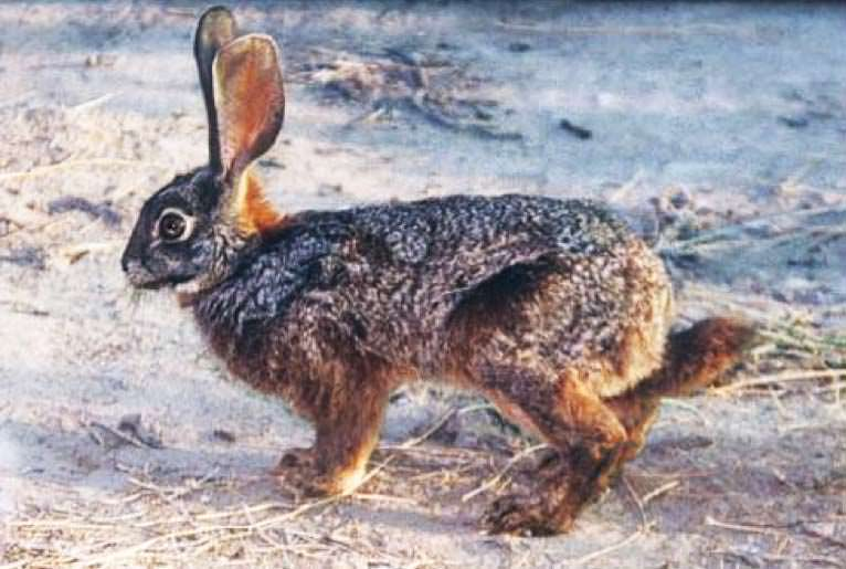 Riverine Rabbit