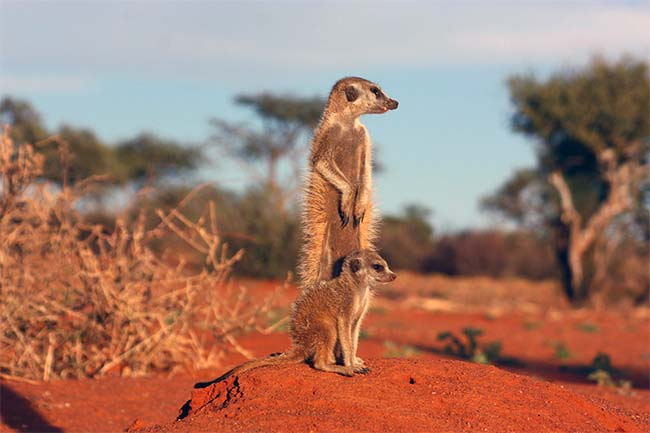 Meerkat and pup in the Central Kalahari Game Reserve biggest national parks Africa